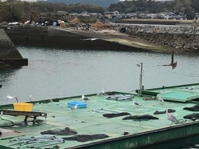 柳漁港生け簀とカモメ